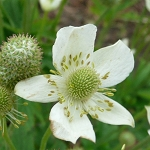 Tall Anemone (Anemone virginiana) - Plants