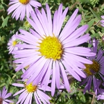 Swamp Aster (Aster puniceus) - Plants