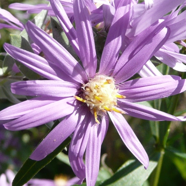 Silky Aster (Aster sericeus) - Plants