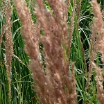 Blue Joint Grass (Calamagrostis canadensis) - Plants