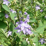 Tall Bellflower (Campanula americana) - Plants