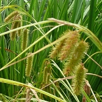 Bristly Sedge (Carex comosa) - Seed