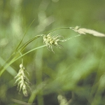 Long-Beaked Sedge (Carex sprengelii) - Seed