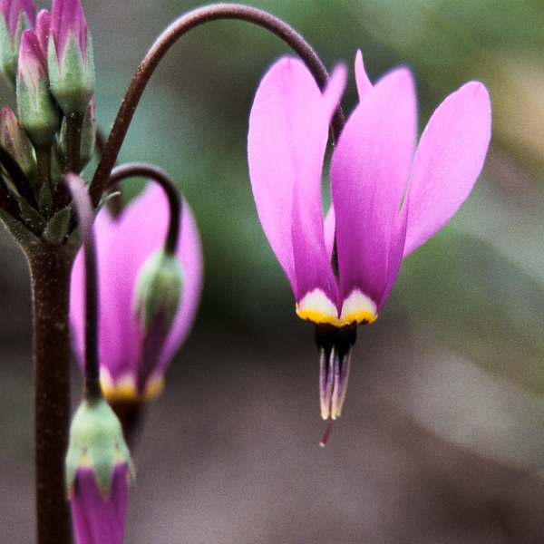 Shooting Star (Dodecatheon meadia) - Seed