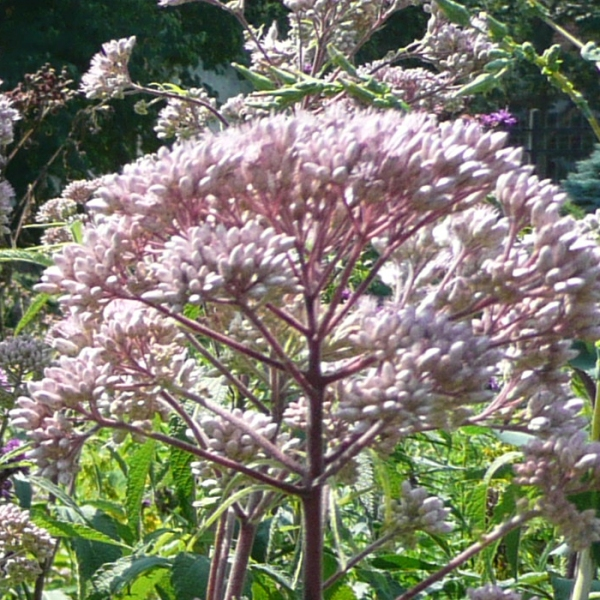 Purple Joe-Pye Weed (Eupatorium purpureum) - Plants