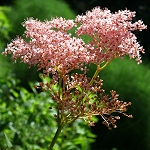 Queen of the Prairie (Filipendula rubra) - Seed