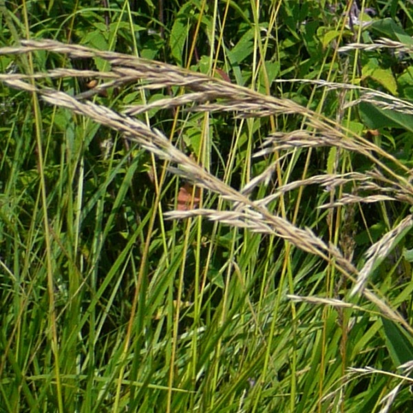 Rattlesnake Grass (Glyceria canadensis) - Plants