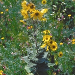 Downy Sunflower (Helianthus mollis) - Seed