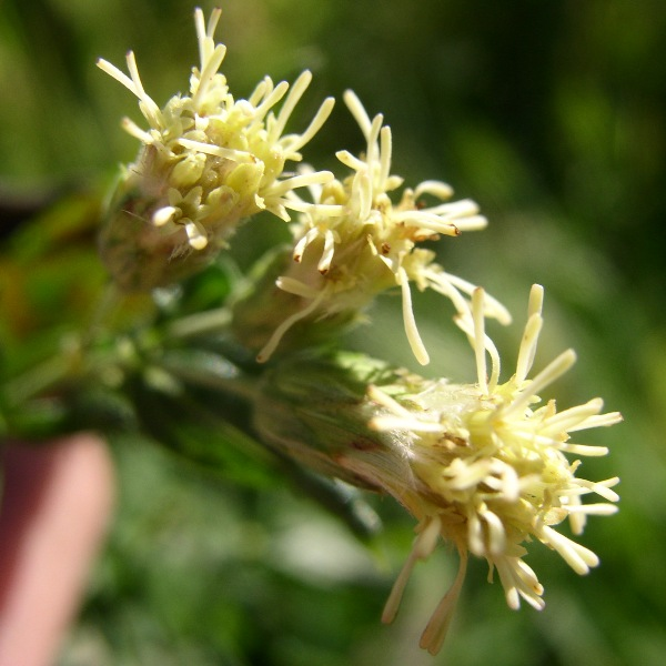 False Boneset (Kuhnia eupatorioides) - Plants