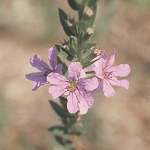 Winged Loosestrife (Lythrum alatum) - Plants