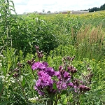 Tallgrass Prairie for Wet-Mesic Soils
