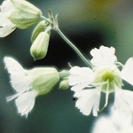 Starry Campion (Silene stellata) - Plants