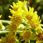 Stiff Goldenrod (Solidago rigida) - Plants
