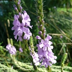 Hoary Vervain (Verbena stricta) - Seed